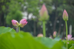 In the morning of May 24, this year's first plant of twin lotus flowers is discovered in Asian Art Park. It's the second time for the twin lotus flowers to appear in Foshan. (Photo by Li Jingxin)